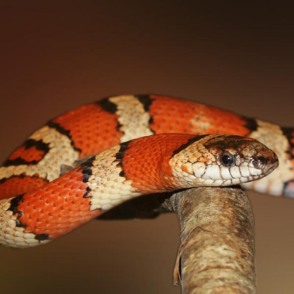 【夢占い】赤い蛇の夢   毒・大蛇・卵・孵化・狩り   SPITOPI