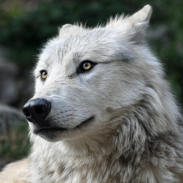 夢占い】狼の夢 | 襲われる・群...